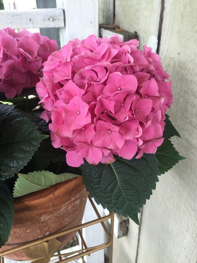 Różowa hortensja od wiejskiego Wschodniego Teksas zdjęcia royalty free