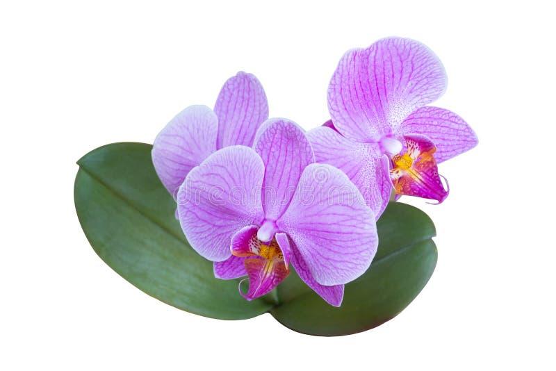 Różowa hybrydowa orchidea dzwonił Phalaenopsis Memoria Cecilia Rimland odizolowywa na białym tle z dwa zielonymi liśćmi, obraz stock