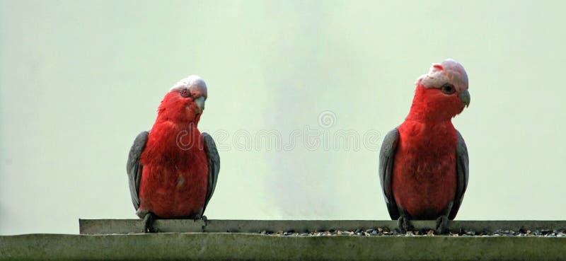 Różowa i Szara galówka Galah papugi w Drouin Wiktoria Australia/ obraz stock