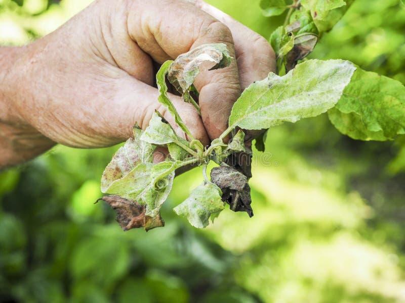 Różowa Jabłczana korówka, Dysaphis Plantaginea, rośliny choroba, szczegół afektowany liść zdjęcie stock