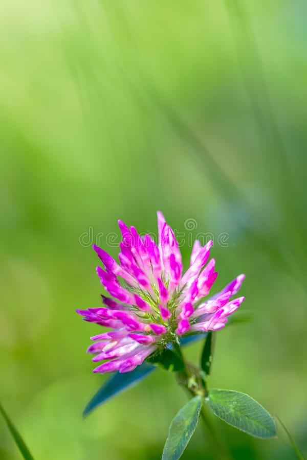 Różowa koniczyna na zielonej łące w słoneczny dzień Trawa i kwiat w terenie w lecie Niewyraźne tło Kopiuj miejsce zdjęcia royalty free