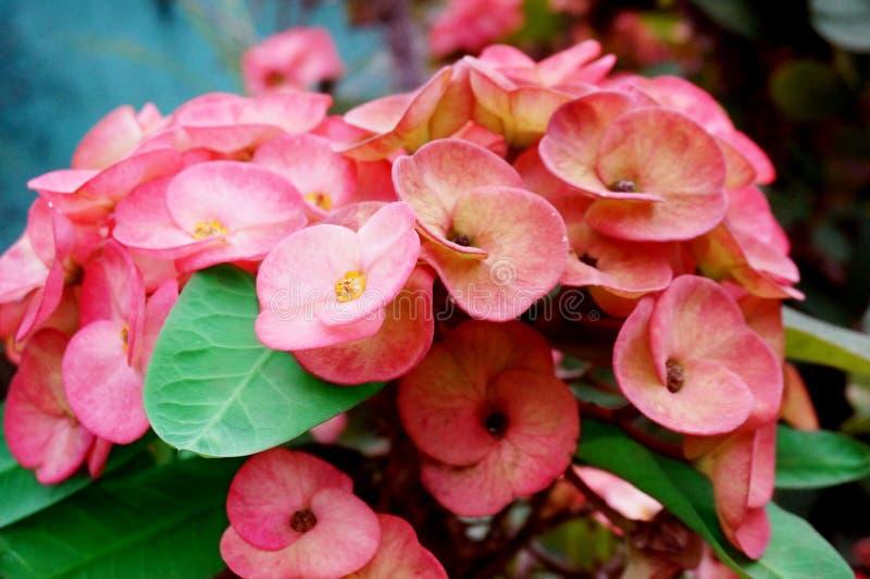 Różowa korona cierni kwiaty fotografia royalty free
