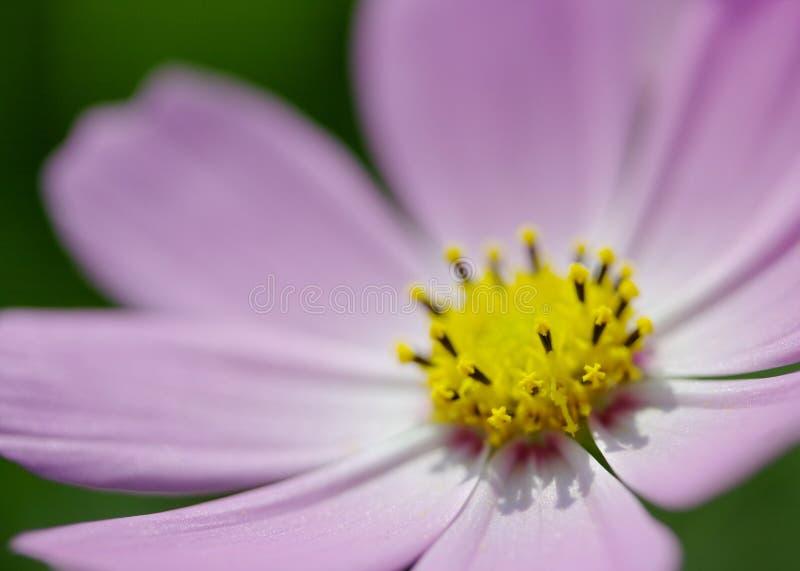 Różowa kosmosu kwiatu głowa fotografia royalty free