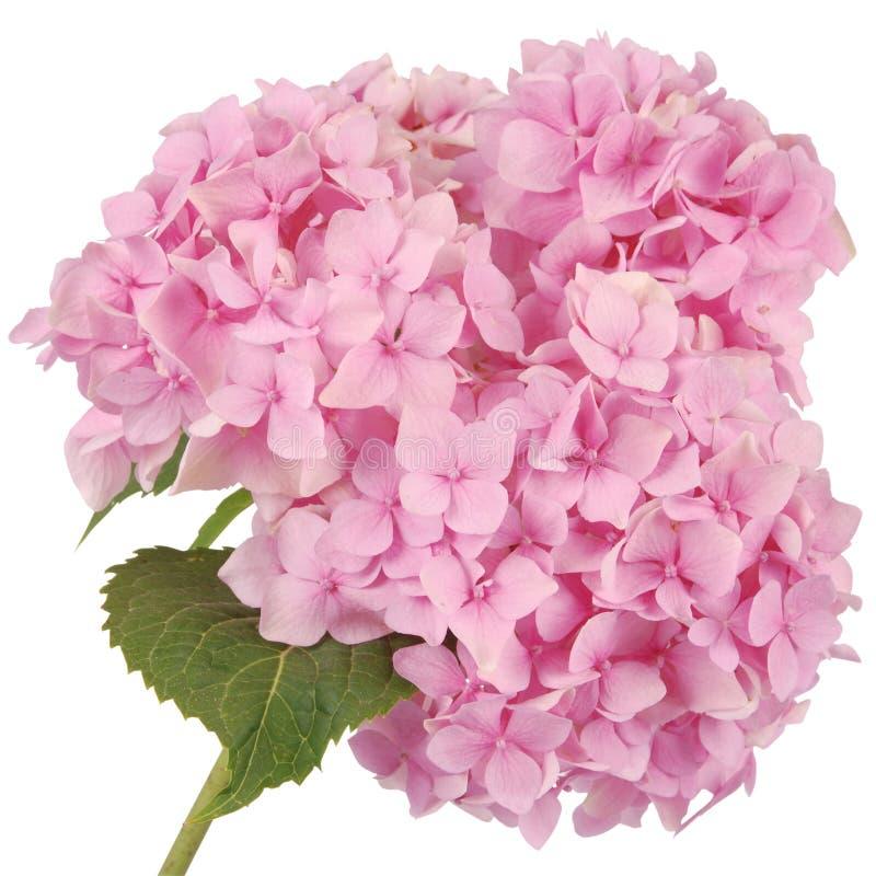 Różowa kwiat hortensja (ścinek ścieżka) fotografia stock