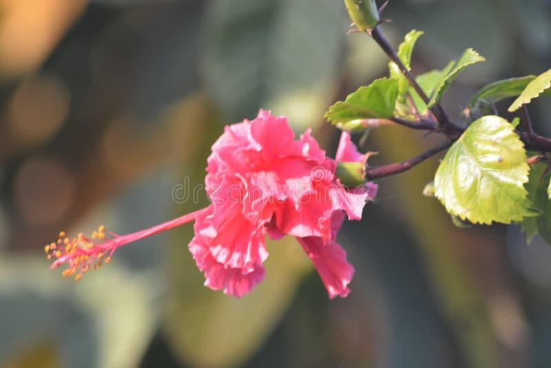 Różowa kwiat roślina z Zielonymi liśćmi fotografia royalty free
