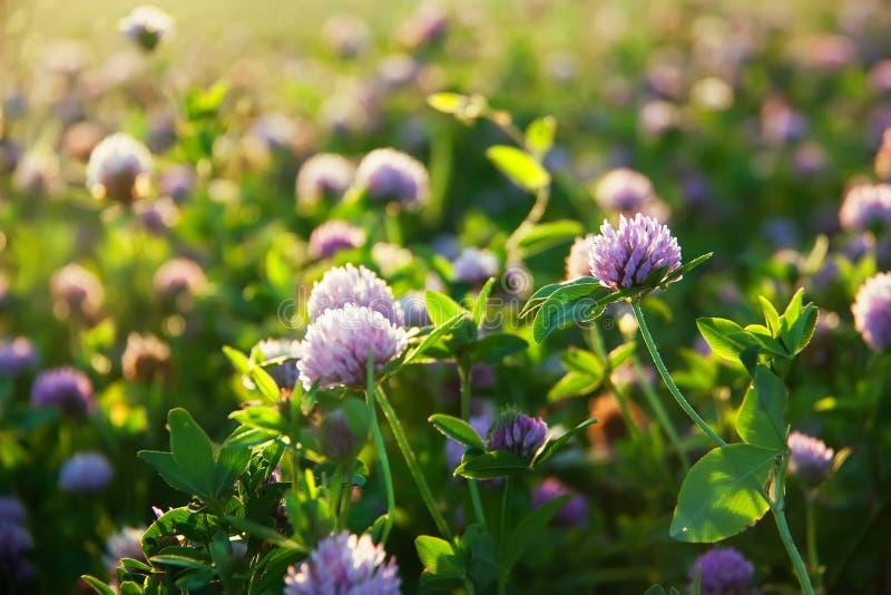 Różowa kwitnąca koniczyna w lato pogodnej łące obraz royalty free