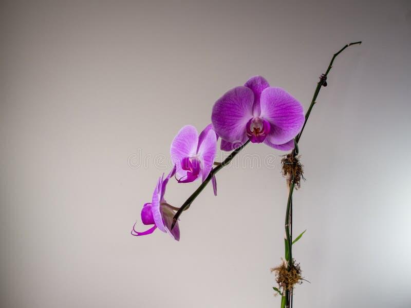 Różowa kwitnąca orchidei gałąź z kremowym tłem obrazy royalty free
