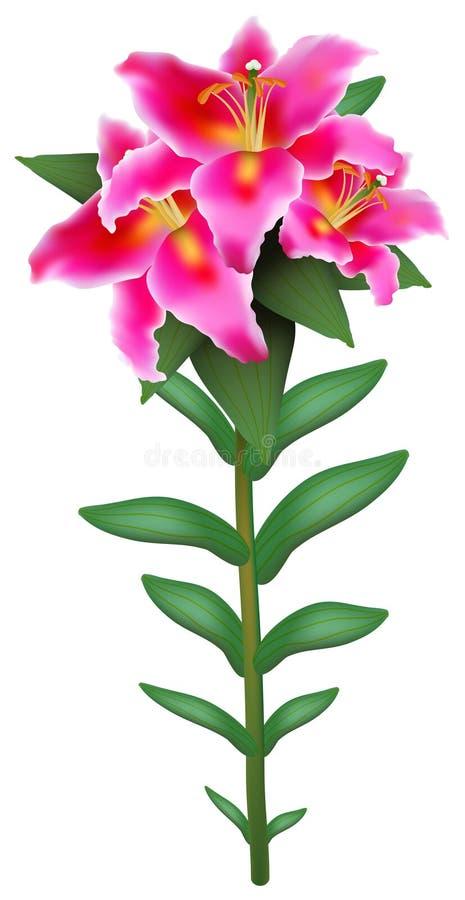 Różowa leluja ilustracji