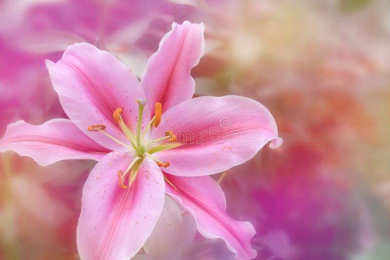 Różowa leluja w miękkim koloru stylu dla Abstrakcjonistycznego tła obraz stock
