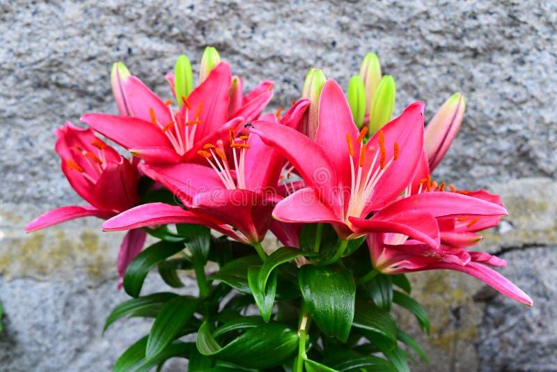 Różowa leluja w ogródzie obraz royalty free