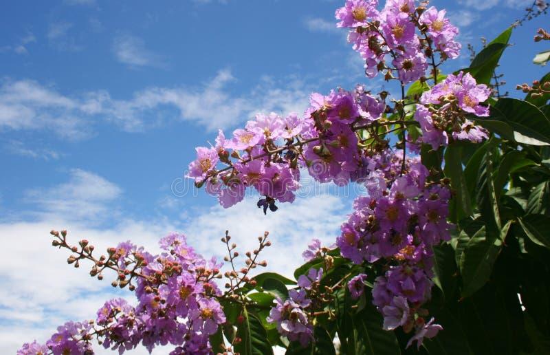 Różowa lotosowego kwiatu piękna natura w ogrodowy buplic zdjęcia royalty free