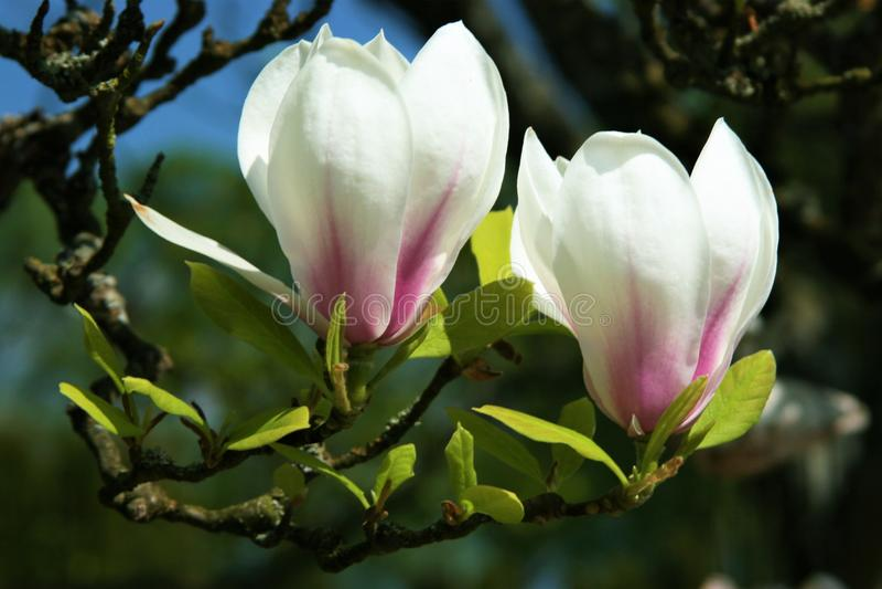 Różowa magnolia obrazy stock