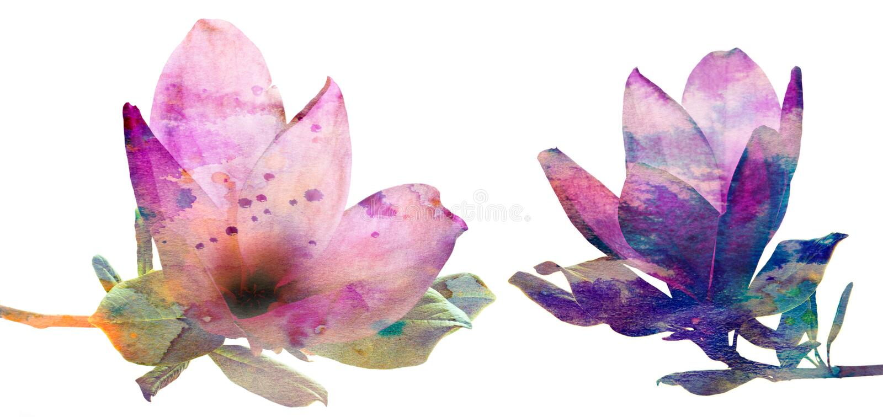 Różowa magnolia kwitnie z akwareli teksturą royalty ilustracja
