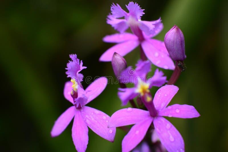 Różowa orchidea obraz royalty free