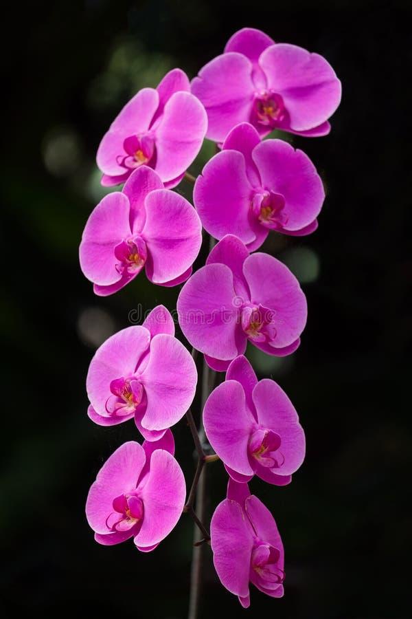 Różowa orchidea obraz stock