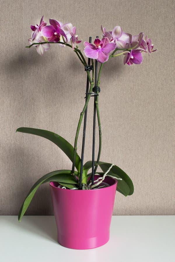 Różowa orchidea w flowerpot zdjęcia stock
