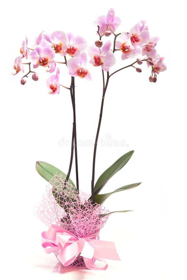 Różowa orchidea w flowerpot fotografia stock