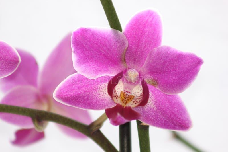 Różowa orchidea wyszczególniający okwitnięcie kwiat zdjęcia royalty free