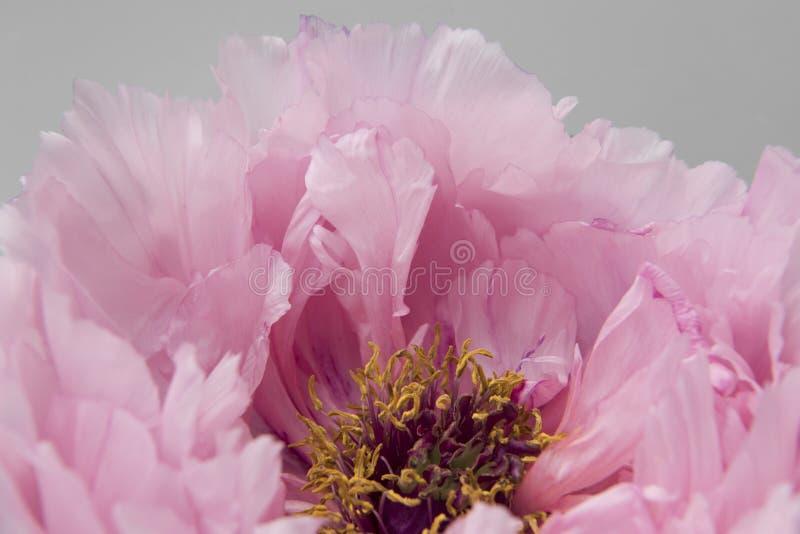 Różowa peonia obrazy royalty free