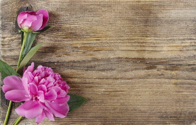 Różowa peonia kwitnie na drewnianym szorstkim tle fotografia stock