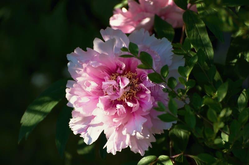 Różowa peonia na krzaku obraz royalty free