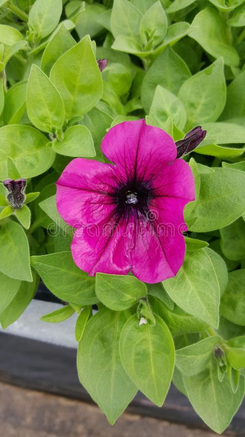 Różowa petunia zdjęcia royalty free