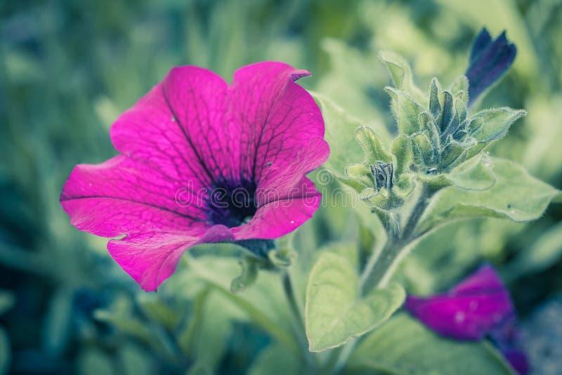 Różowa petunia, delikatny kwiat w ogródzie, zakończenie up strzelał zdjęcie royalty free