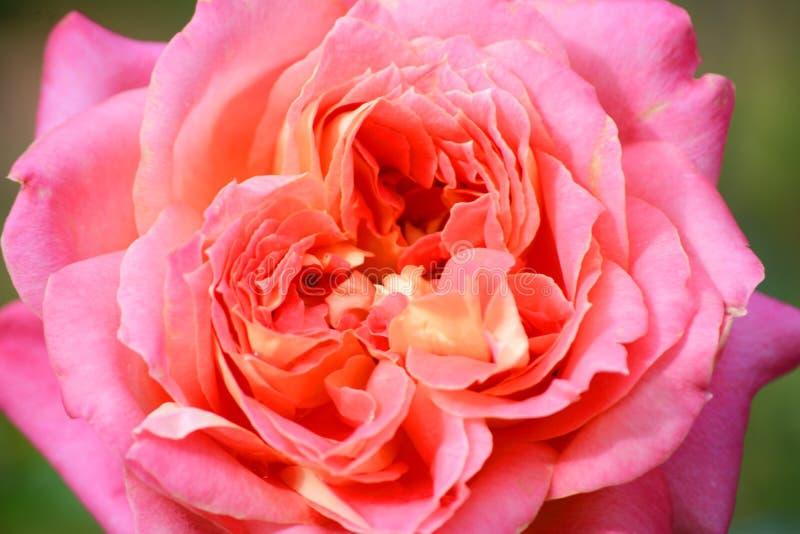 Różowa pomarańcze róża zdjęcie stock
