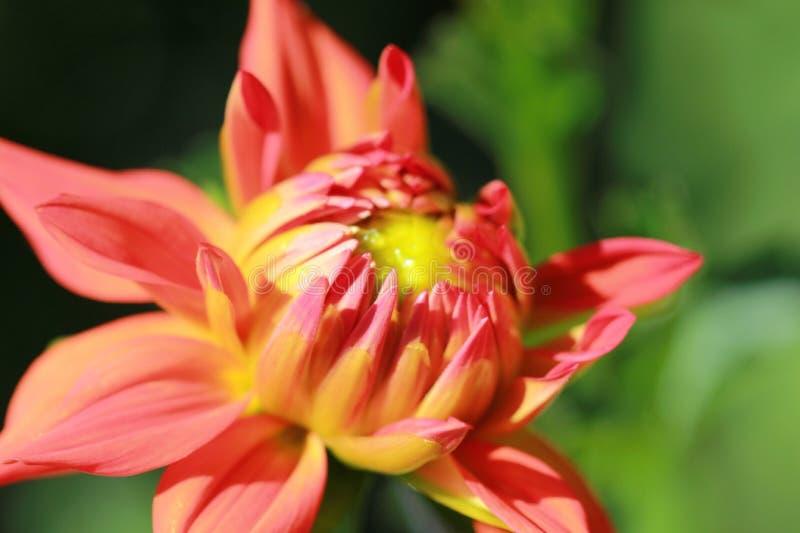 Różowa, Pomarańczowa dalia/ obraz stock