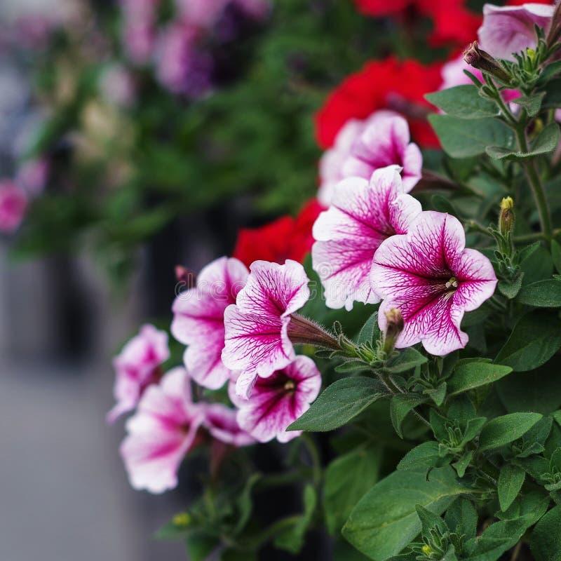 Różowa purpurowa petunia kwitnie w wiosna czasie obrazy stock