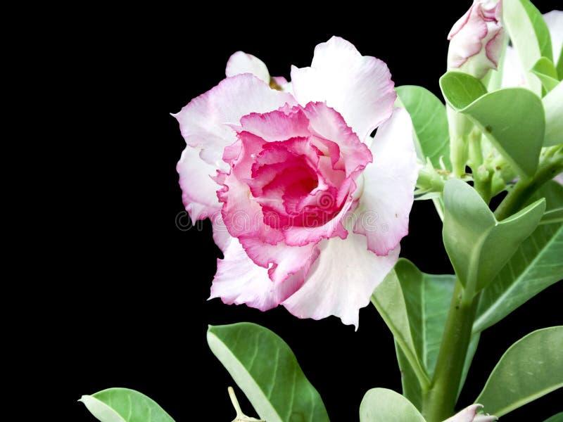 Różowa pustynia wzrastał obraz stock