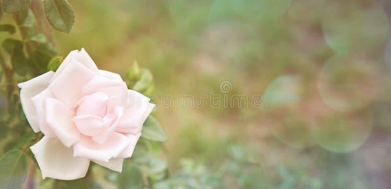 Różowa róża w ogrodzie fotografia stock