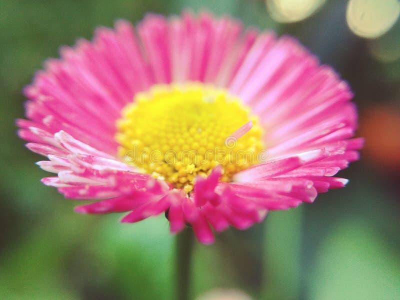 Różowa stokrotka obrazy stock