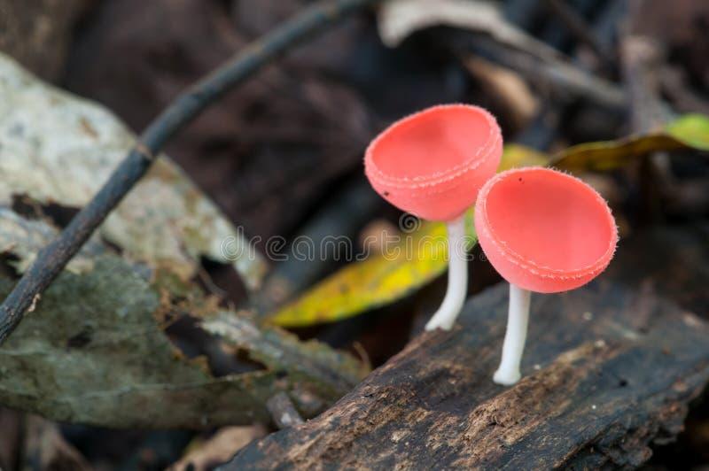 Download Różowa Szampańskiej Filiżanki Pieczarka Na Rozpadowym Drewnie Obraz Stock - Obraz złożonej z grzyby, tło: 53791455