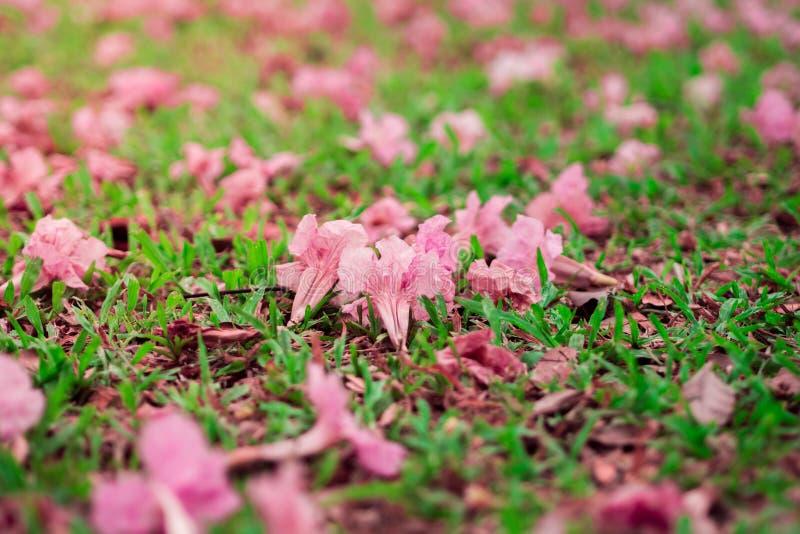 Różowa trąbka lub Różowi tubowi Tabebuia rosea kwiaty spadaliśmy na zielonej trawie z żółtym światłem słonecznym obrazy royalty free