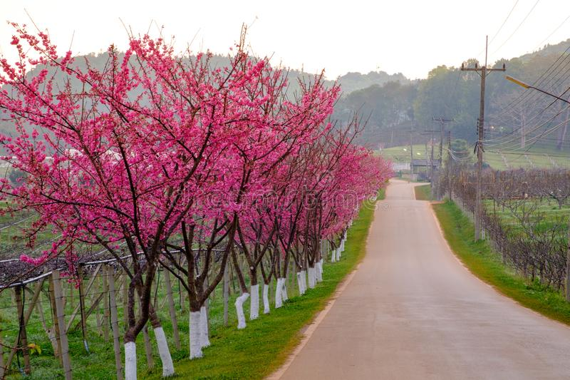 Różowa trasa czerpał od pięknego Sakura, Czereśniowi okwitnięcia w doi angkhang halny Królewski Rolniczy Stacyjny Angkhang, obraz royalty free