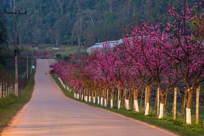 Różowa trasa czerpał od pięknego Sakura, Czereśniowi okwitnięcia w doi angkhang halny Królewski Rolniczy Stacyjny Angkhang, obraz stock