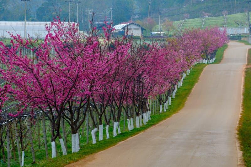 Różowa trasa czerpał od pięknego Sakura, Czereśniowi okwitnięcia w doi angkhang halny Królewski Rolniczy Stacyjny Angkhang, obrazy stock