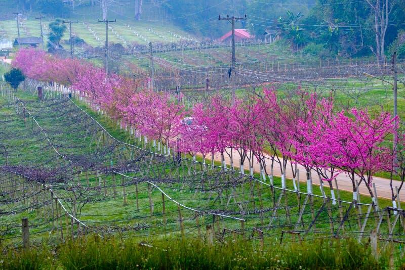 Różowa trasa czerpał od pięknego Sakura, Czereśniowi okwitnięcia w doi angkhang halny Królewski Rolniczy Stacyjny Angkhang, obrazy royalty free