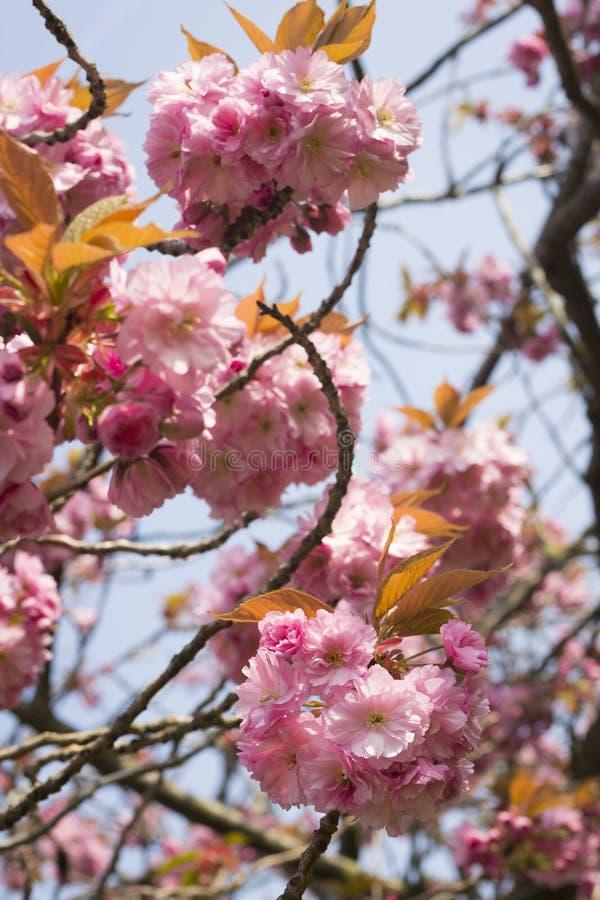 Różowa wiosna kwitnie na głogowym drzewie zdjęcia stock