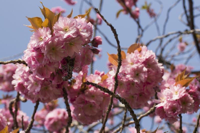 Różowa wiosna kwitnie na głogowym drzewie obraz stock