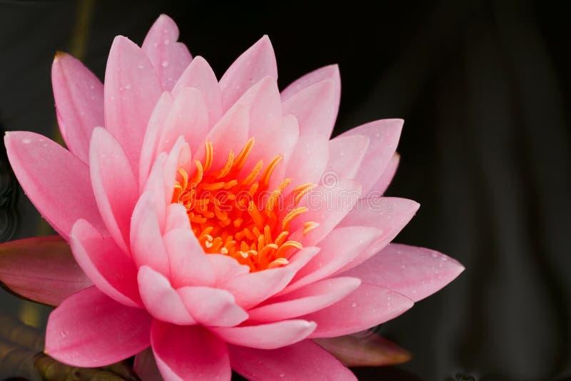 różowa woda lilii fotografia royalty free