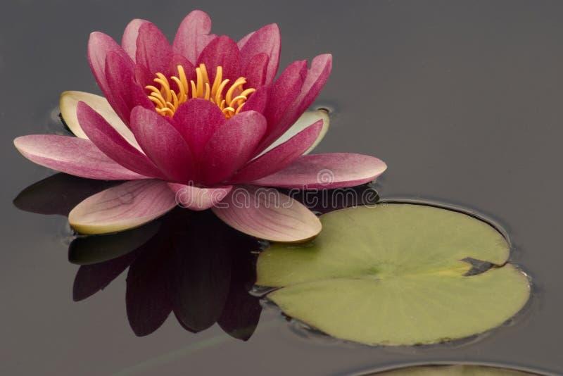 różowa woda lilii zdjęcie stock