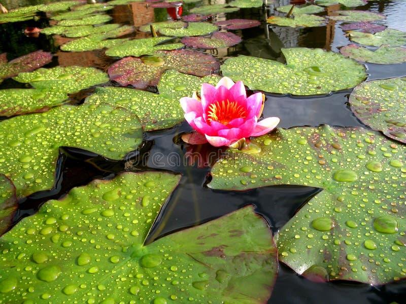 różowa woda lilii obraz stock