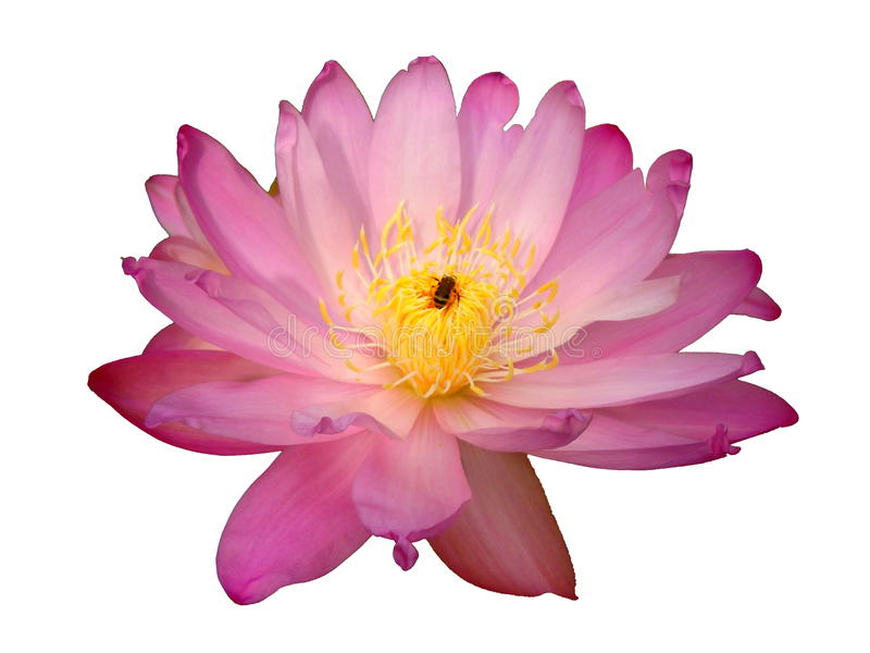 Różowa wodna leluja i pszczoła zdjęcia stock