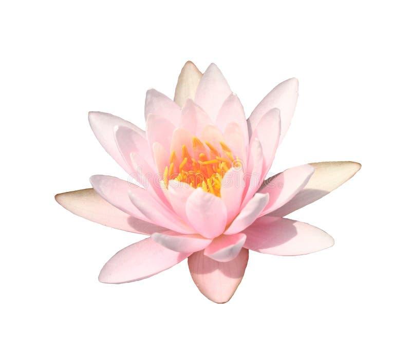 Różowa wodna leluja na białym tle, Różowy lotos obrazy royalty free