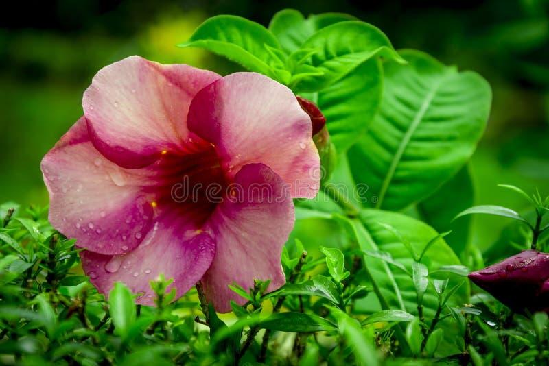 Różowawy czerwony kwiatu zbliżenie w ogródzie w Kochi zdjęcia stock