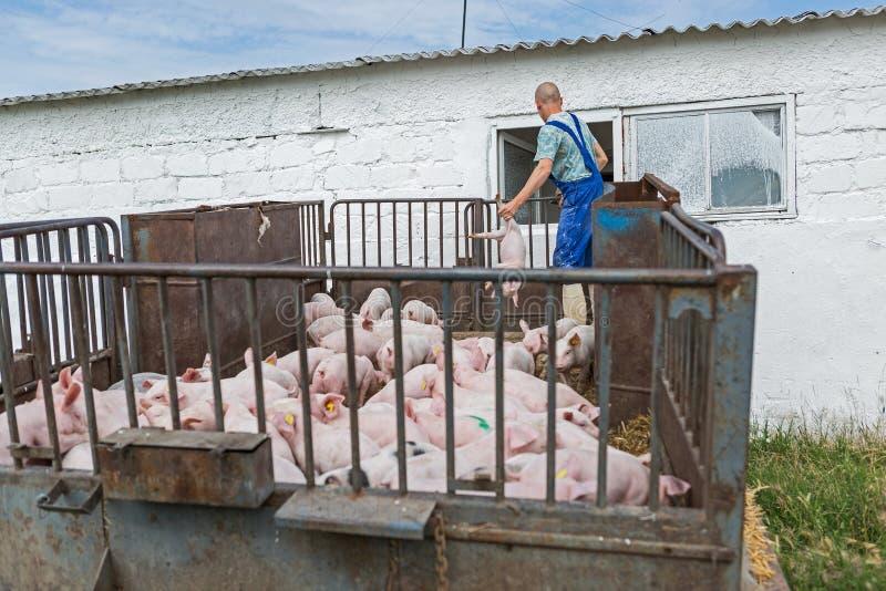 Różowe świnie, świnie na gospodarstwie rolnym zdjęcie royalty free