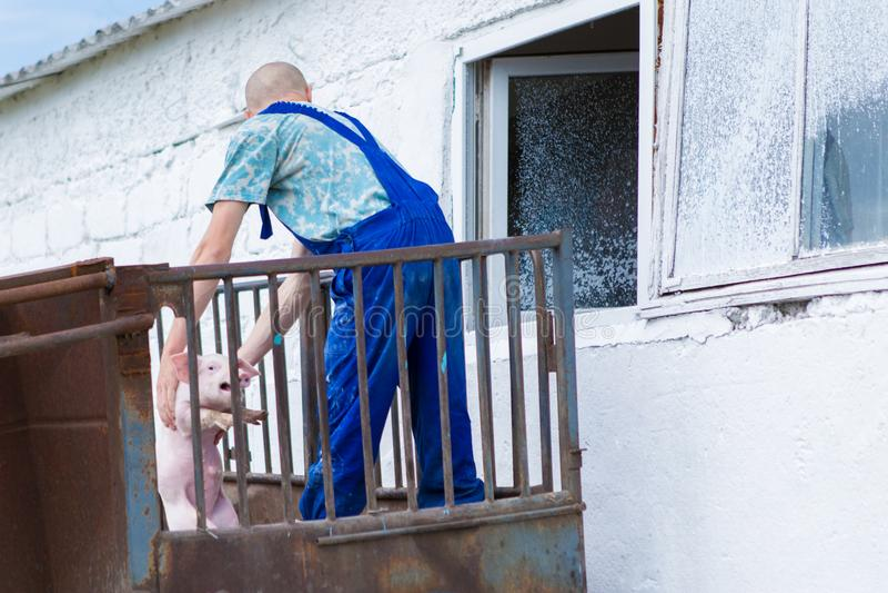 Różowe świnie, świnie na gospodarstwie rolnym zdjęcia stock