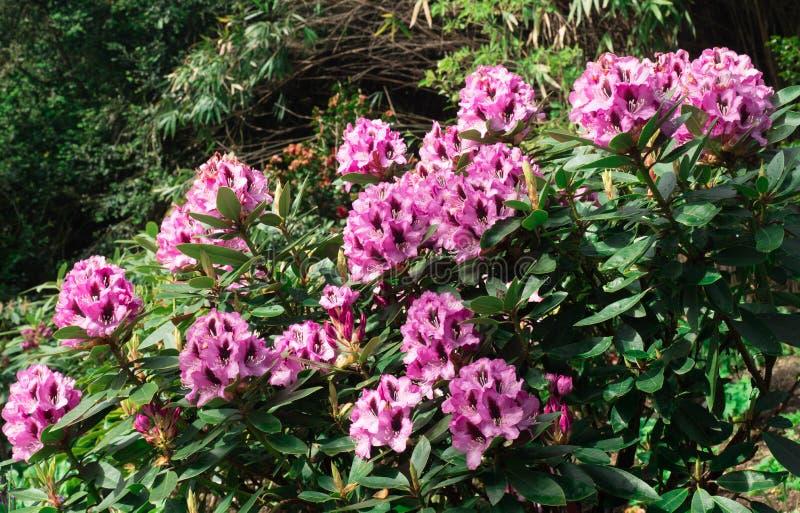 Różowe azalie kwitną na krzaku fotografia royalty free